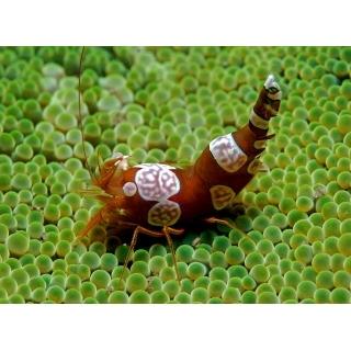 Анемоновая креветка. Thor Amboinensis
