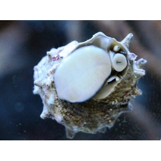 Звездная улитка. Astralium calcar.