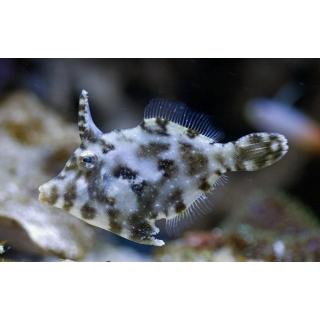 Единорог-акреихт щетинохвостый. Acreichthys tomentosus. Размер M