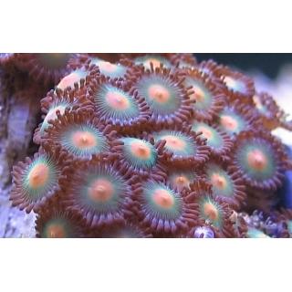 Зоантусы. Zoanthus sp. Размер S