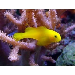 Бычок-клоун, желтый Gobiodon okinawae