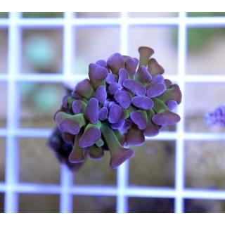Euphyllia paraancora - Эуфилия молоточковая