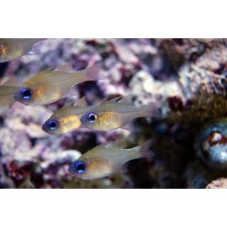 Апогон синеглазый - Apogon leptacanthus