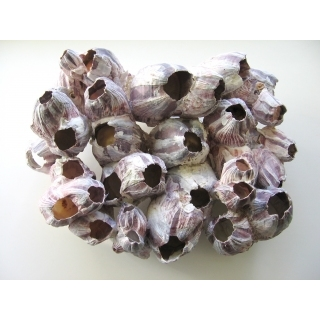 Балянус (морской жёлудь)