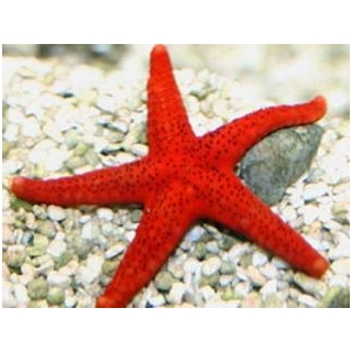Звезда фромия красная. Fromia milleporella