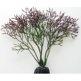 Горгонария черная 10 см