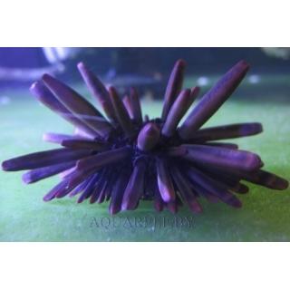 Еж грифельный, Heterocentrotus mammillatus