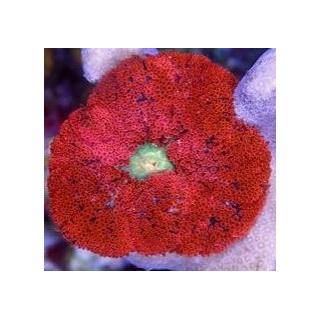 Stichodactyla tapetum, Мини ковровая актиния (ø 2 см)