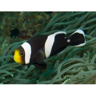 Amphiprion polymnus, размер S